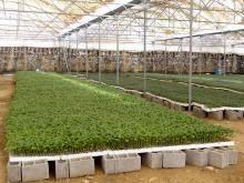 تولید نشا در گلخانههای کاکی