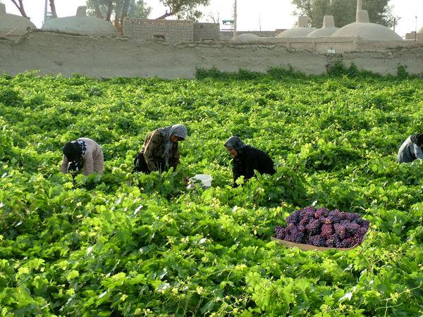 برداشت بیش از 20 هزار تن انگور از باغات سیستان و بلوچستان