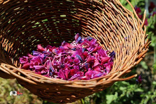 کشت گیاهان دارویی در سطح 252 هکتار از اراضی کشاورزی استان قزوین