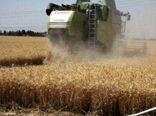 پیش بینی برداشت حدود 62 هزار تن گندم از مزارع استان البرز در سال جاری