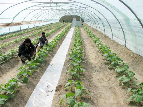 آغاز کشت محصولات گلخانهای در سیستان و بلوچستان