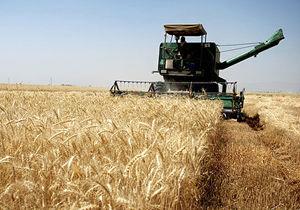 آغاز برداشت گندم در بیش از 78 هزار هکتار از اراضی