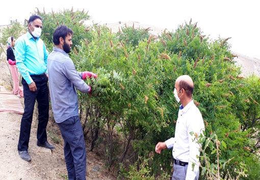 برداشت بیش از 560 تن سماق از باغات شهرستان هوراند