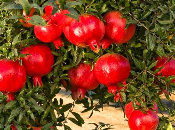 برداشت بیش از 2600 تن انار از باغات بارور شهرستان راور