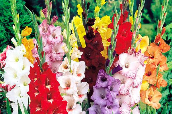 پیش بینی تولید یک میلیون و 500 هزار شاخه گل گلایول در چهارمحال و بختیاری