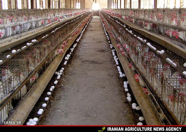 مرغداری صنعتی