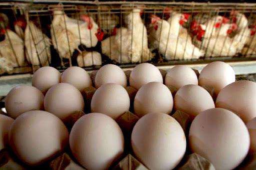 مراغه، قطب عمده تولید مرغ و تخم مرغ در آذربایجانشرقی