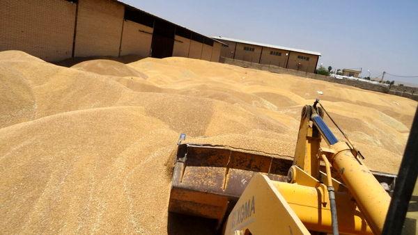 کشاورزان ابرکوه ۱۴ هزار تن گندم برداشت کردند