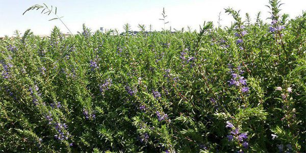 امسال 2700 تن بادرشبو در آذربایجان غربی تولید می شود