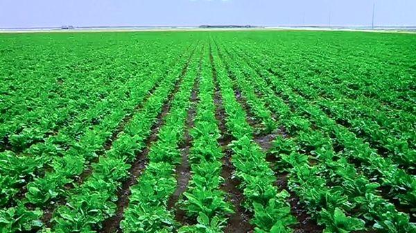 برداشت جو در مزارع آرادان آغاز شد؛ 3110 هکتار از مزارع آرادان زیر کشت جو است