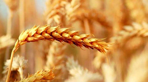کشت گندم قراردادی برای اولین بار در کشور