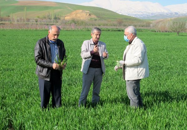 مزارع گندم آذربایجان غربی از سطح سبز مطلوبی برخورداراست