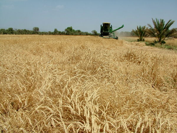 برداشت خوشههای طلایی گندم در سیستان و بلوچستان آغاز شد