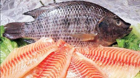 ممنوعیت تولید قانونی و حفاظت شده ماهی تیلاپیا، عامل افزایش تولید غیرقانونی