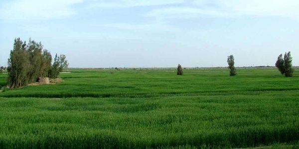 کشت گندم در 20 هزار هکتار از اراضی کشاورزی سیستان و بلوچستان