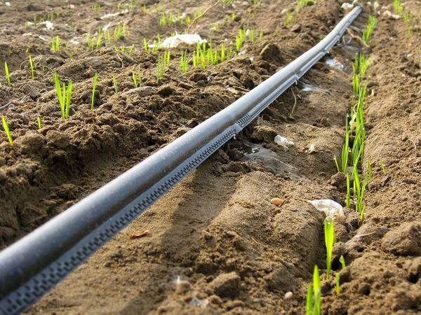 کاهش مصرف آب با روش آبیاری نوار تیپ در مهریز