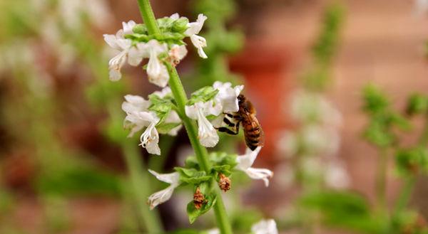 زنبور بیشتر یعنی مواد غذایی بیشتر