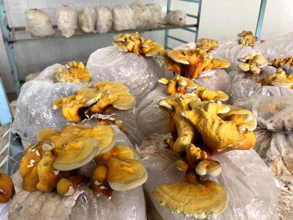 برداشت 50 کیلوگرم قارچ گانودرما درسیستان وبلوچستان برای اولینبار