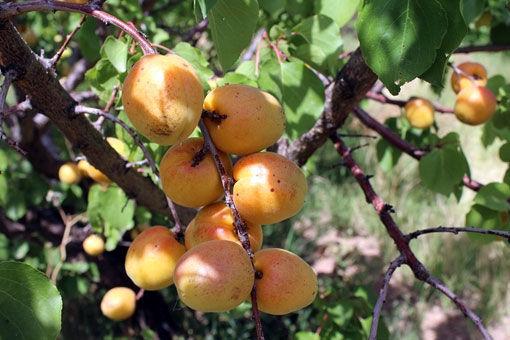 آغاز برداشت زردآلو از 2700 هکتار باغ در مرند
