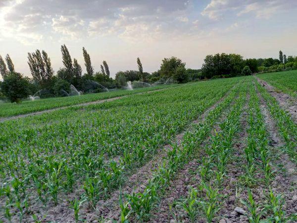 افزایش بهره وری و کاهش مصرف آب با تغییر آرایش کشت در مزارع ذرت شهرستان ارومیه