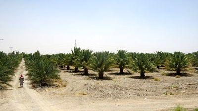 توسعه کشت خرمای صادراتی در سیستان و بلوچستان