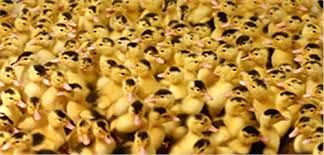 ورامین؛ تامین کننده ۷۰ درصد جوجه اردک در کشور