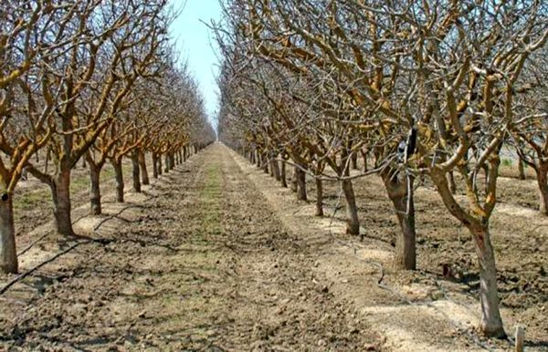 اثر روغن پاشی درختان میوه در کاهش جمعیت آفات زمستان گذران