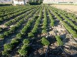 اختصاص سه میلیاردو600میلیون ریال تسهیلات برای کشت گیاهان دارویی به عشایر چهارمحال و بختیاری