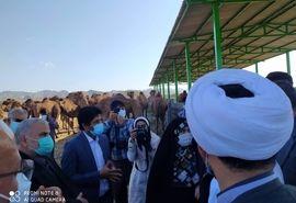 بازدید از طرح پرورش شتر داشتی در سیریک استان هرمزگان