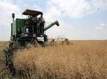 مزارع کلزای کازرون در حال برداشت است