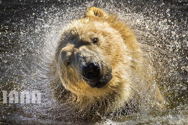 خرس قطبی در پارک حیات وحش یورکشایر
