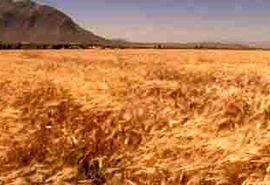 آغاز برداشت جو از ۱۴۰۰ هکتار مزارع فریدن