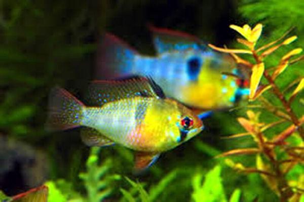 ظرفیت تولید ماهیان زینتی در قزوین ۲ برابر میشود