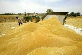 افزایش ۴۰ درصدی خرید تضمینی گندم از گندمکاران استان اصفهان