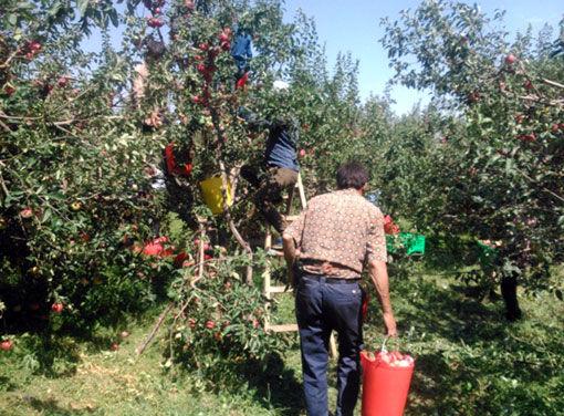 اهر قطب تولید سیب قره قرمز در کشور