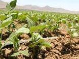 کشاورزان شیروان کشت حبوبات را جایگزین پیاز کنند