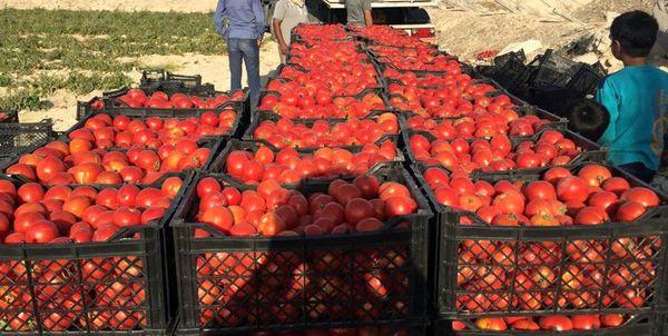 3335 تن گوجه از کشاورزان استان قزوین خریدار شد