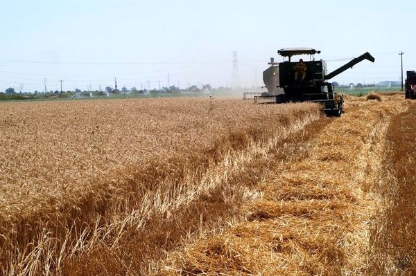 10 هزار تن گندم و جو از اراضی شهرستان دیلم برداشت میشود