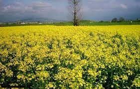 برداشت 600 تن محصول کلزا از مزارع استان کرمان در سال جاری