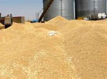 خریداری بیش از 1.3 میلیون تن گندم توسط تشکلهای تعاون روستایی