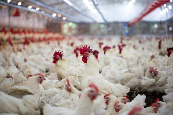 حمایت 216 میلیارد ریالی بانک کشاورزی از مزرعه پرورش مرغ مادر و مرغداری گوشتی مدرن در مازندران