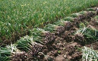 ۲۵۲تن سیر در مزارع کشاورزی شهرستان البرز تولید میشود