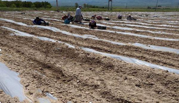 آغاز کشت گوجه فرنگی در اراضی مانه و سملقان