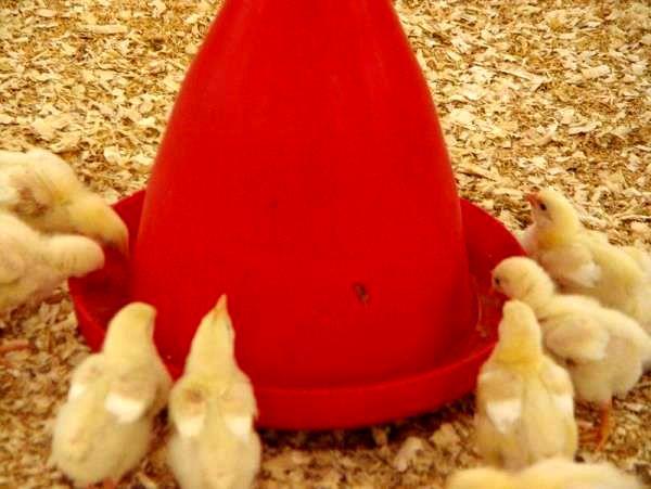 جوجه ریزی دو میلیونی در مرغداری های نکا