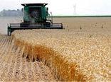 ۱۰۲ هزار و ۶۰۰ تن گندم مازاد کشاورزان بوشهر خریداری شد