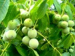 پیش بینی برداشت ۶۸۵ تن محصول از  باغات گردوی شهرستان کرمان