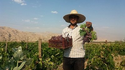 نوبرانه انگور یاقوتی مُهر در میادین میوه کشور