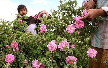 برداشت گل محمدی از گلستانهای شهرستان رابر