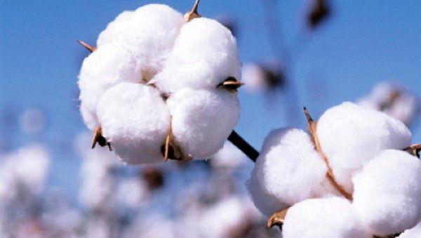 افزایش 20 درصدی تولید وش پنبه در خراسان شمالی