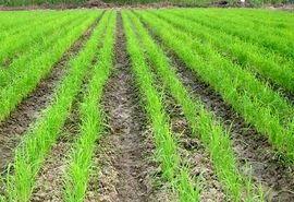 خشکهکاری برنج مشروط به آبیاری تحت فشار